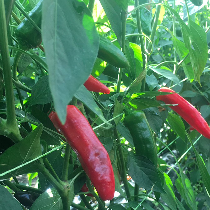 OUR INGREDIENTS - chillies
